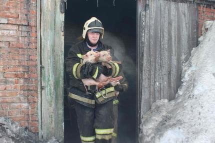"""Томские спасатели спасли из горящей фермы 150 """"милых"""" поросят"""
