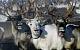На Ямале от сибирской язвы пало 1200 оленей