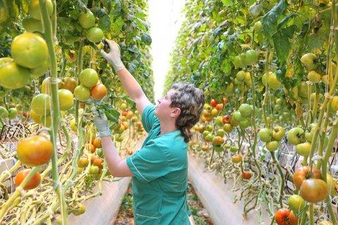 Турция вновь пригрозила санкциями на запрет ввоза томатов в Россию